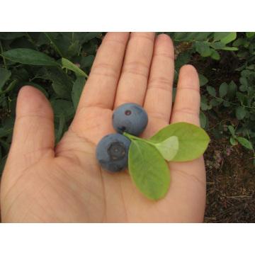 Congelamento rápido individual Organic Blueberry Zl-1068