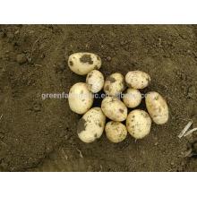 Hachoir vert prix frais de la pomme de terre