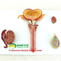 SELL 12471 Human Male Reproductive System Anatomical Model