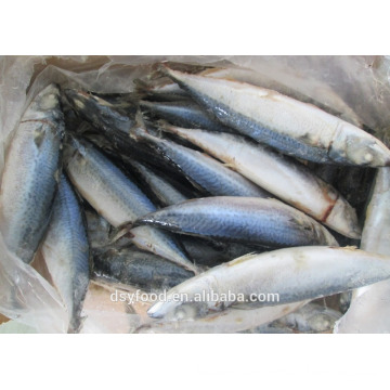 Frozen Fresh Seafood Pacific Mackerel Fish