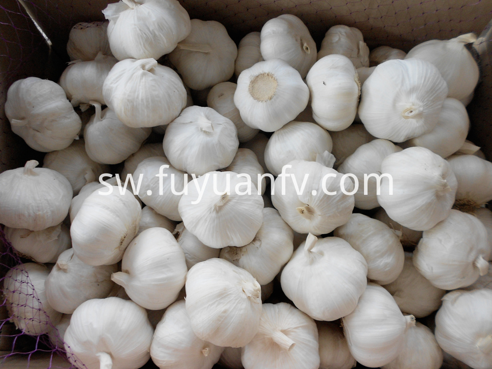 fresh pure white garlic