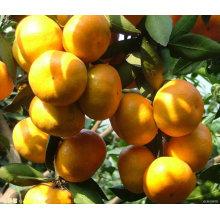 Naranja fresca del bebé