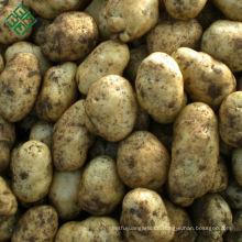 Bangladesh Frischgemüse-Kartoffel / chinesische Kartoffel / frische Kartoffel