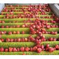 IQF congelant la fraise organique HS-16090912