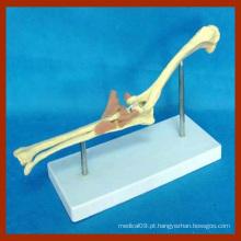 Modelo de ossos de animais da articulação do cotovelo do cão