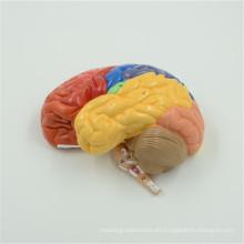 Larga vida útil del modelo del tallo encefálico y del hipotálamo 3 partes