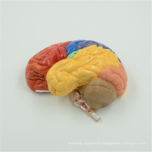Market price human anatomy brain model