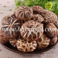 Primavera de alta qualidade Cultivado chá secado cogumelo Flor