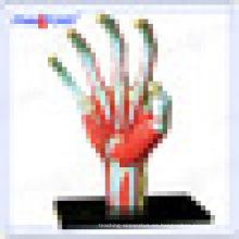 PNT-7002 educativo humano modelo de juguete anatómico hueso de la mano