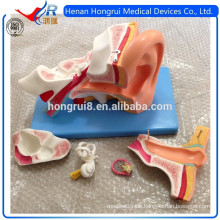 ISO Deluxe Anatomisches Ohrmodell