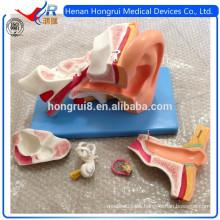 Modelo anatómico de oído ISO Deluxe