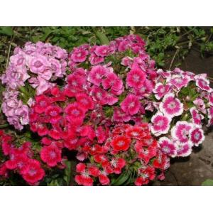 Couleur rouge Dianthus Barbatus