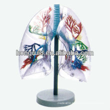 Transparent anatomical human training lung segments model