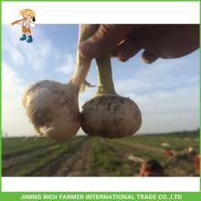 2016 Nouvelle récolte Fresh Jinxiang Ail blanc, ail rouge, ail violet, ail blanc à neige, ail blanc super blanc 5.0CM, 5.5CM