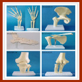 Модель анатомического моделирования коленного сустава для медицинского обучения
