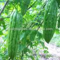 BG01 Cuiyu no.1 green long bitter gourd seeds for planting