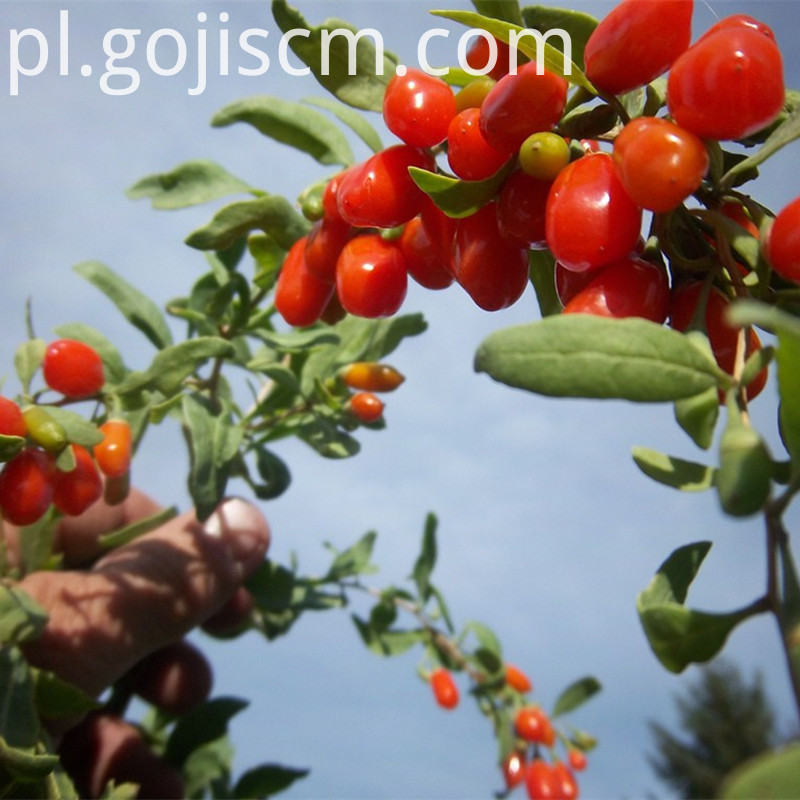 fresh Dark Red Goji Berries