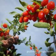 Organic origin Chinese Goji Tea