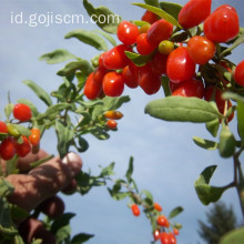 2017 Certified No Hazard Quality Goji Berry