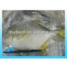 Frozen golden pomfret/pompano whole round