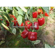 SP27 Jihong maturidade precoce f1 sementes de pimentão vermelho híbrido capsicum sementes