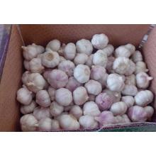 Pack Knoblauch in einer natürlichen Box