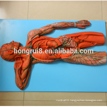 ISO Vascular System Model, Anatomical Model of Lymphatic System