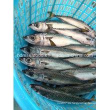 W / R Pescados congelados frescos pescados de la caballa