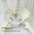 SKELETON06 (12366) Ciência Médica Clássica Médica Anatomia Padrão 85 cm Esqueleto Humano Modelo Manequim