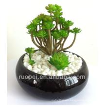 Mini bonsai plantas suculentas en vivo