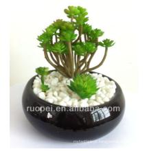 Mini plantas suculentas bonsai vivos