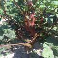 Suntoday vegetable F1 Organic garden buying online red okra seeds japanese op supplier(A44001)