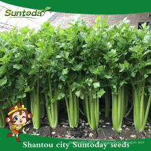 Suntoday vegetal F1 crescer couve chinesa assorted fresco Europa aipo alta vezes sementes híbridas vegetais para venda sementes (A4300)