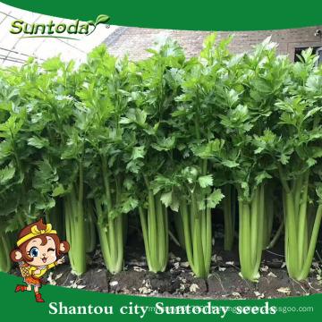 Suntoday légumes F1 grandir le chou chinois assortiment frais Europe céleri haute fois légumes graines hybrides à vendre des graines (A4300)
