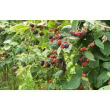Zl-1046 Anic Blackberry Zl-1046 19