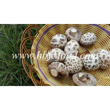 Dried White Flower Shiitake Mushroom Prices