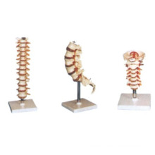 Menschliches Modell - Thoraxwirbel, Halswirbel, Lendenmodell