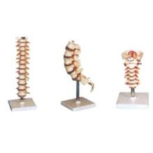 Modelo humano: Vértebra torácica, Vértebra cervical, Modelo lumbar