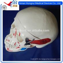 ISO Deluxe Adult Schädel Modell mit farbigen Muskeln