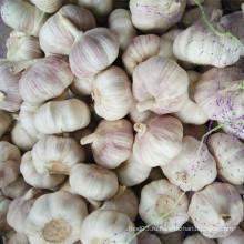 Свежий обычный белый чеснок с фиолетовой кожей