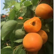 Top Quality Fresh Apricot