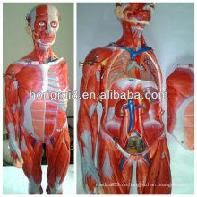 ISO Muskeln des Männchens, Muskeln Anatomisches Modell