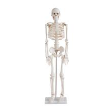 Lebensgroßes Skelett 85CM groß