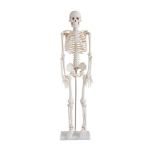 Life-Size Skeleton 85CM Tall
