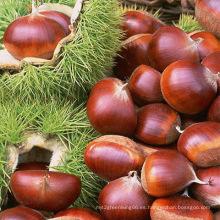 40-60PCS / Kg para la castaña roja fresca