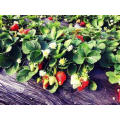 IQF Einfrieren Organische Erdbeere HS-16090902