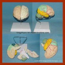 Brain Model with Arteries by Colored Separation (detach painted)
