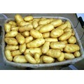 tengzhou taze hollanda patates