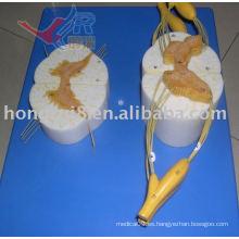 Modelo Anatómico ISO de la Médula Espinal con Ramas Nerviosas
