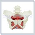 PNT-0589-3 Modelo de la cavidad pélvica femenina